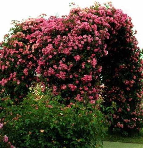 arca ot rozi (5) (Small)