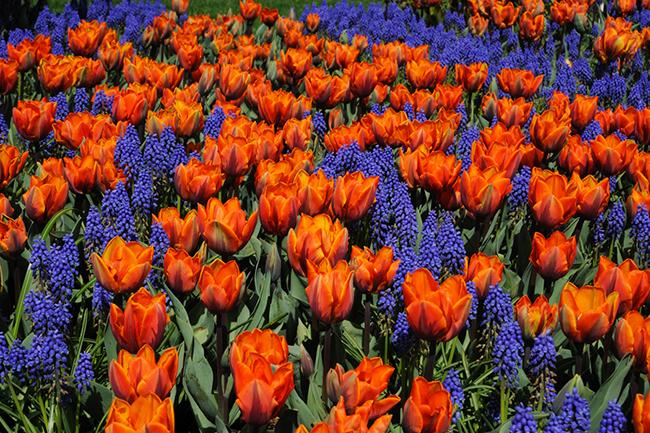 Цветови композиции с луковици