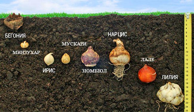 Схема за засаждане на луковици на нива