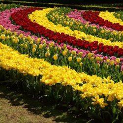 Схема за засаждане на луковични цветя