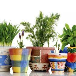 Как се отглеждат плодове, зеленчуци, билки в саксии на перваза