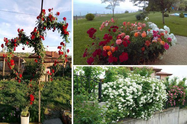 Рози в градината на моят дом: Розариум,арки и отглеждане на катерливи рози