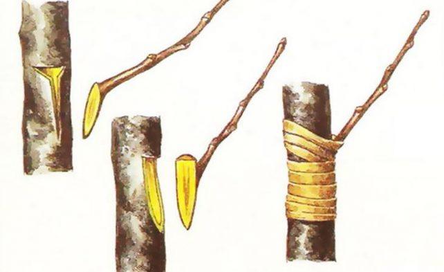 Ашладисване на цитруси