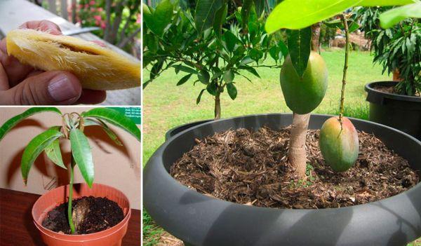 Как се отглежда манго от семка